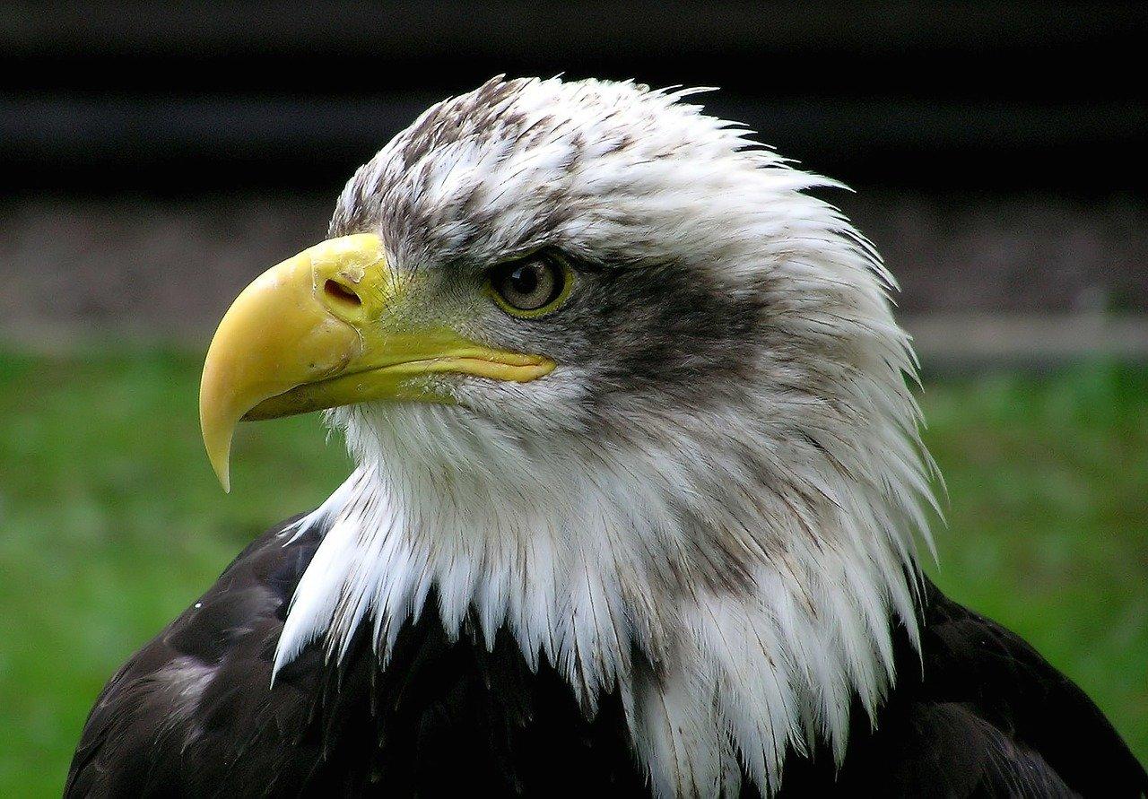 bald-eagle-62834_1280